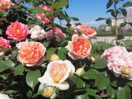 Rundāles pili ieskauj krāšņi rožu ziedi 22