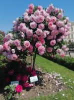 Rundāles pili ieskauj krāšņi rožu ziedi 24