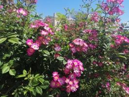 Rundāles pili ieskauj krāšņi rožu ziedi 25