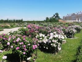 Rundāles pili ieskauj krāšņi rožu ziedi 27