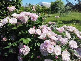 Rundāles pili ieskauj krāšņi rožu ziedi 28